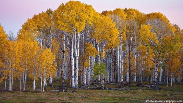 birch-trees-2.jpg