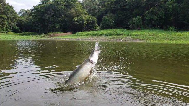 cuca pesca pirarucu destino.jpg